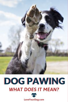 Why is My Dog Pawing At Me? 10 Reasons They Want Your Attention! All Types Of Dogs, Dog Facts, Dog Language, Dog Shampoo, R Dogs, Dog Crate, Dog Behavior, Dog Training Tips, Dog Mom