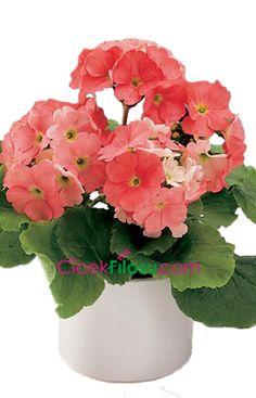 Onbiray Çiçeği Bakımı, Yetiştirilmesi, budanması, sulanması, toprak, vitamin, ışık, ve rüzgar faktörlerine karşı direnci hakkında bilgiler