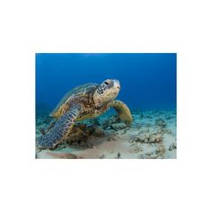 Green Sea Turtle (Chelonia Mydas), an Endangered Species, Hawaii, USA... ($35) ❤ liked on Polyvore featuring home, home decor, wall art, turtle home decor, sea turtle wall art, green home decor, green wall art and sea turtle home decor