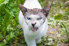 White cat looking evil walks to the camera. White fur on the body and short darker hair on the head and ears. Blue eyes. Mouth opened and some teeth are visible. Some dirt and weeds in the background.