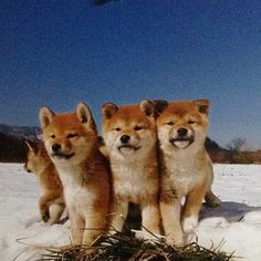 Shiba Inu puppies are so adorable <3