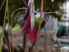 Dierama reynoldsii Outdoor Entertaining, Outdoor Gardens, Seeds, Outdoor Decor, Plants, Plant, Planets