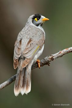 """Noisy Miner (Manorina melanocephala) - photo by Simon Bennett;  Noisy Miners are a type of honeyeater native to Australia that are gray with a distinctive yellow patch behind the eye, a black band over the head, yellow-orange bill and feet, and a yellow-olive patch on the wing.  They are very vocal birds.  """"Miner"""" is an old alternative spelling of the word """"myna.""""   - info from Wikipedia"""