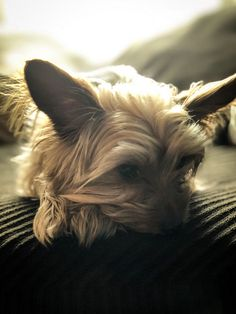 Is Your Yorkie Driving You Crazy? Dog Secrets: The Fastest Way To Your Dream Yorkshire Terrier! - Yorkies #yorkshireterrier #dog #doglovers #dogs #dogsofinstagram