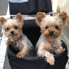 Yorkie Shout Outs : Photo