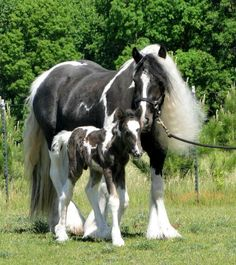 Gypsy Vanner Horse - The foal named Picasso, 1 day old.