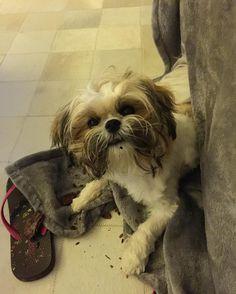 """Àquela carinha de """"não fiz nada mamãe!!""""  #chanel #sapequinha #sempreaprontando #instadogs #doglovers #solovely"""