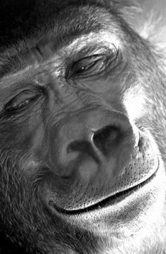 Snelson Hall Gorilla BomBom smiling in Oklahoma City Zoo, Primates, Mammals, Animals And Pets, Baby Animals, Funny Animals, Cute Animals, Strange Animals, Beautiful Creatures, Animals Beautiful