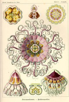 a billion tastes and tunes: Ernst Haeckel, part 2 of 2