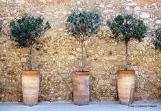 Love the tall, slender pots for these olive trees Potted Olive Tree, Pot Jardin, Garden Inspiration, Garden Pots, Beautiful Gardens, Container Gardening, Garden Landscaping, Outdoor Gardens, Garden Design