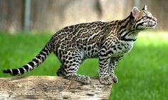 The Ocelot is anocturnal wildcat of Central America and South America having a dark-spotted buff-brown coat. The are also known as Dwarf Leopards, and has a length of about68 to 100centimeterswithout the tail and weight around 8-10 kilograms.