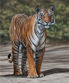WILDLIFE ART | Tiger painting by Stuart Herod