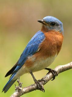 .Bluebird