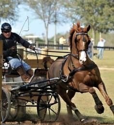 Sterling-Graburn & ULANO -- winning Little Everglades! Just landed in Amsterdam & on their way 2 the worlds this morning! Comic Frame, Horse Cart, Horse And Buggy, Harness Racing, Horse Carriage, Dressage Horses, All About Horses, Horse Quotes, Horse Pictures