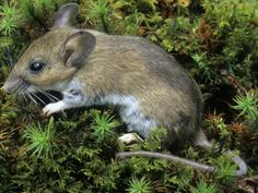 Peromyscus leucopus - White-footed Mouse -- Sighted: New York, etc.