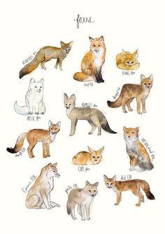 A chart featuring the Blanford's fox, Red fox, Fennec fox, Arctic fox. Animal Drawings, Art Drawings, Animal Illustrations, Vogel Illustration, Animals Tattoo, Animals And Pets, Cute Animals, Fox Art, Cute Fox