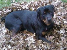 ROTTWEILER...They Have A Very Bad Rep, But Having Had 2 Growing Up, They Are AMAZING, Loving, Family Dogs. When We Have A Home With A Large Fenced In Yard, We Will Have One In Our Family.