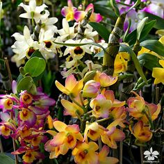 Dendrobium nobile Meine Hebammen aus dem Orchideengarten Karge