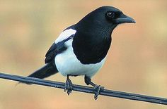 Magpies  intelligent : the European Magpie is one of the few animal species known to be able to recognize itself in a mirror test.
