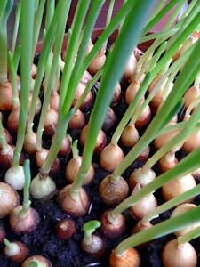 Never pay for onions again. Grow your own fresh onions year round. Page also includes tips for growing tomatoes, pineapple, herbs, etc. My well riped avacado seed was sprouting inside the fruit, so I...