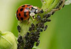 De ce sa aveti buburuze in gradina Grass, Organic, Fruit, Garden, Insects, Plant, Garten, Grasses, Lawn And Garden