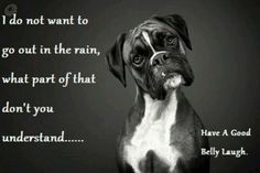 ❤️ That's so true. I have one boxer who thinks she'll melt if rained on. Lol