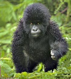 Fluffy Baby Gorilla  Hair-raising: This youngster isn't quite sure whether the permed look suits him