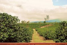 Costa Rica Coffee Fields, Alajuela.