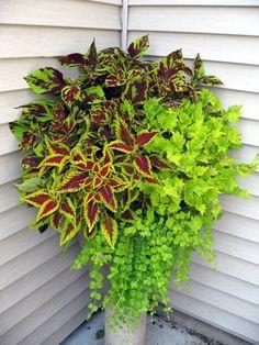 coleus plants black dragon coleus seeds flowers