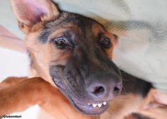 Luke Milani. Denise Milani's german shepherd puppy. #DeniseMilani #LukeMilani #gsd #germanshepherd #puppy #gsdpuppy #germanshepherdpuppy
