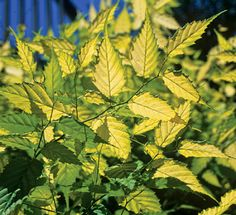 Klehm's Song Sparrow Farm and Nursery--Woody Plants--Kerria japonica 'Chiba Gold'