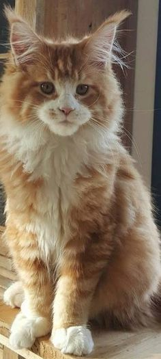 maine coon photos - Tap the link now to see all of our cool cat collections!