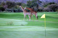 Leopard Creek golf course in South Africa. Our guests play there on our annual Golf Safari and African Collage journeys. Safari and golf = happy guests. Famous Golf Courses, Public Golf Courses, St Andrews Golf, Coeur D Alene Resort, Augusta Golf, Golf Course Reviews, Golf Chipping, Golf Videos, Golf Training