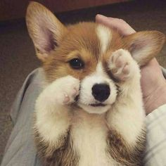 60 Photos For Anyone Who's Just Having A Bad Day - Cute corgi puppy - Puppies Cute Corgi Puppy, Corgi Dog, Cute Dogs And Puppies, Korgi Puppies, Cute Animals Puppies, Pembroke Welsh Corgi Puppies, Cavapoo Puppies, Teacup Puppies, Rottweiler Puppies
