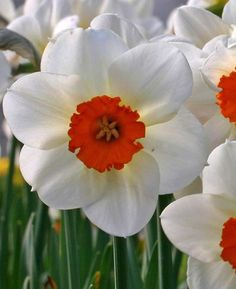 Daffodil Barret Browning