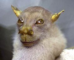 """animais que você não vai acreditar que existem -  Morcego nariz de tubo  Encontrado nas Filipinas, esse animal também é conhecido como """"Morcego Yoda"""". Infelizmente, essa espécie também corre risco de extinção."""
