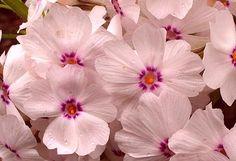 Płomyk szydlasty (Phlox subulata) Amazing Grace | Encyklopedia Roślin