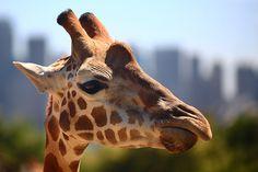 Giraffe in Taronga Zoo, Sydney, Australia