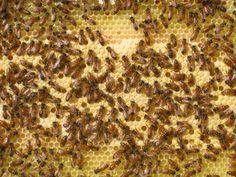 Call off the bee-pocalypse: U.S. honeybee colonies hit a 20-year high - The Washington Post