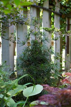A Sciadopitys verticillata grows against the fence.
