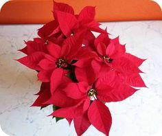 Poinsettia (Euphorbia pulcherrima), cunoscută și sub numele de Crăciunița (Flor de Noche Buena) sau Steaua Crăciunului, este o plantă originară din America Centrală. Aztecii foloseau această plantă…
