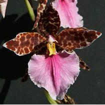 About Orchids: Basic Orchid Care for Beginners - Odontoglossum