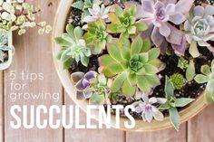 5 Tips for Growing Succulent Plants succulentsandsunshine.com