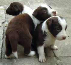 border collies - Yahoo Image Search Results