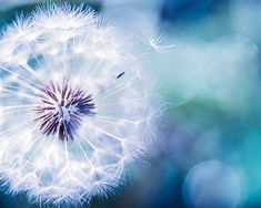 Nature photography dandelion seeds botanical fine art print