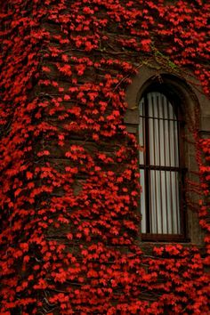 Another Pinner Said--Ruby red leaves! Of coarse it's my favorite color I See Red, Red Leaves, Autumn Leaves, Autumn Fall, Autumn House, Foto Art, Aesthetic Colors, Aesthetic Light, Shades Of Red