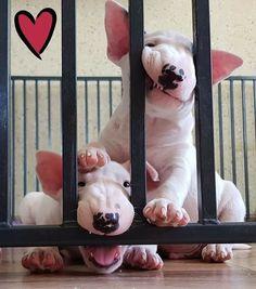 get BULL Terrier free stickers Animal Jokes, Funny Animals, Cute Animals, Bull Terrier Funny, Pitbull Terrier, Fox Dog, Dog Cat, I Love Dogs, Cute Dogs