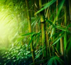 This plant grows excellent when planted inside lakes or rivers. It is native to the US. It is great for privacy fences or barriers. With the help of concrete or brick, the Bamboo is great for outdoor building. It gets its name from the Kannada word bambu. Bamboo Tree, Bamboo Plants, Yoga Symbole, Outdoor Buildings, Bamboo Shoots, Fast Growing Plants, Plant Sale, Jurassic World, Jurassic Park