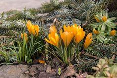 Uwielbiam oznaki wiosny.  Die Spueren nach Fruehling!  #dolnaaustria #waldviertel #krokusy #krokusen #ilovewien #kochamaustrię Austria, Anna, Plants, Instagram, Plant, Planets