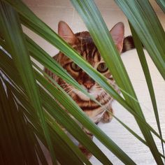 Pippa the Toyger Toyger Kitten, Cute Cats, Funny Cats, I Love The Beach, Neko, Plant Leaves, Kitty, Tigers, Gatos